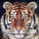 File: tiger photo-mosaic cats 5400 Thumbnail version