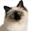 Photo de chat Birman