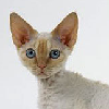 Photo de chat Devon Rex