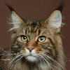 Photo de chat Main Coon
