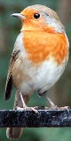 A robin portends a marriage to a sailor
